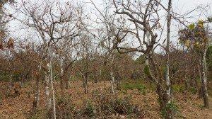 Des cacaoyers à sec. (Photo V.T.)